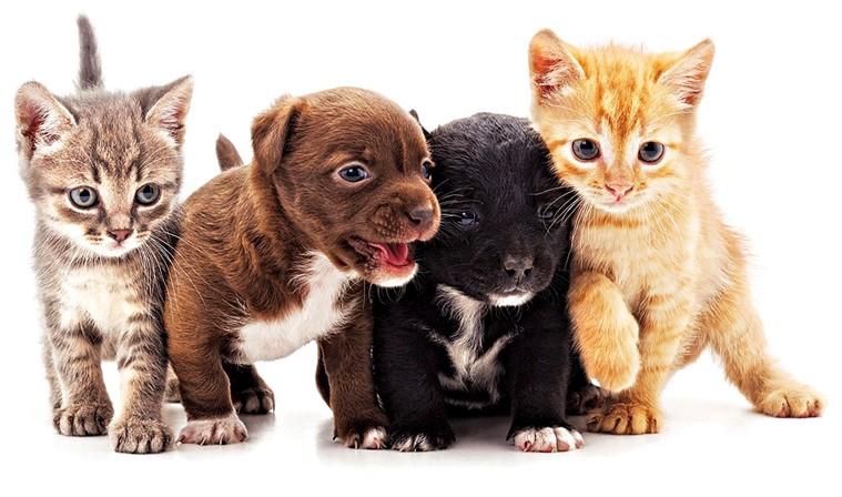 blerje qentë